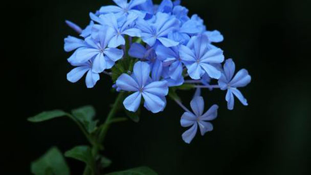 How to propagate Blue plumbago