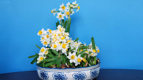 Bunch-flowered daffodil profile