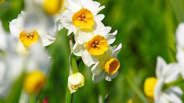 How to grow Bunch-flowered daffodil