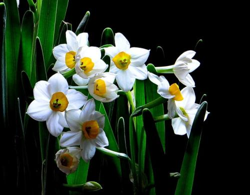 Bunch-flowered daffodil care