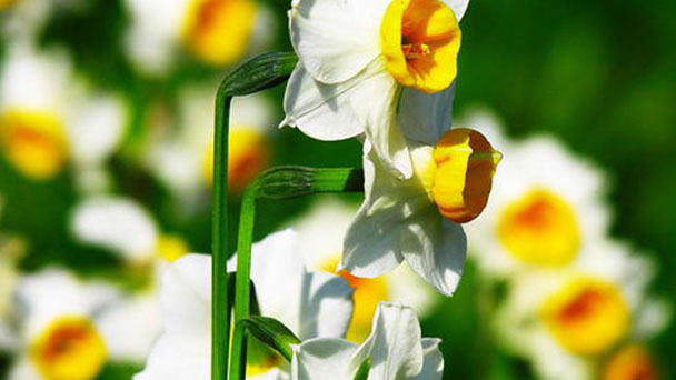 How to grow and care for bunch-flowered daffodil