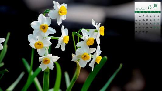 Bunch-flowered daffodil