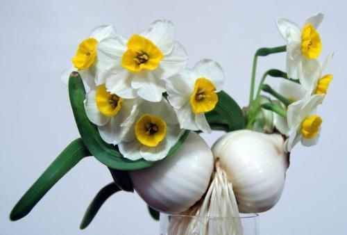 Bunch-flowered daffodil propagation method