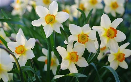 propagation method of Bunch-flowered daffodil