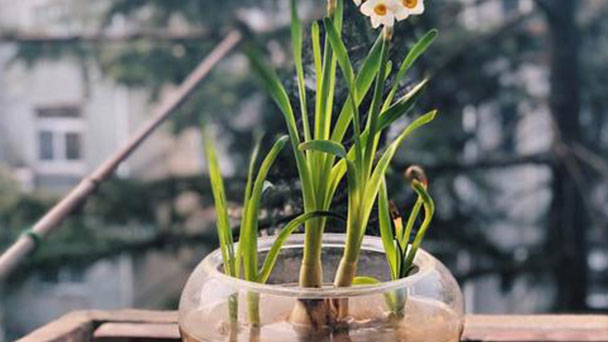 How to propagate Bunch-flowered daffodil