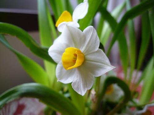 grow bunch-flowered daffodils