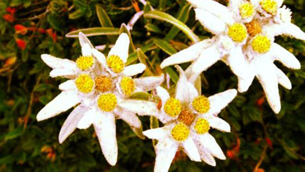 How to propagate Edelweiss