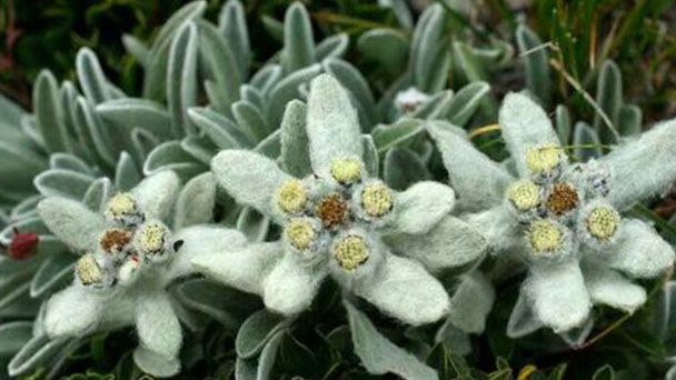 How to grow and care for Edelweiss