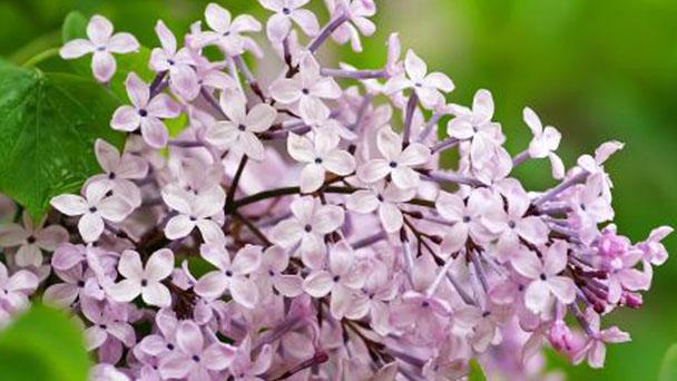 Lilac profile