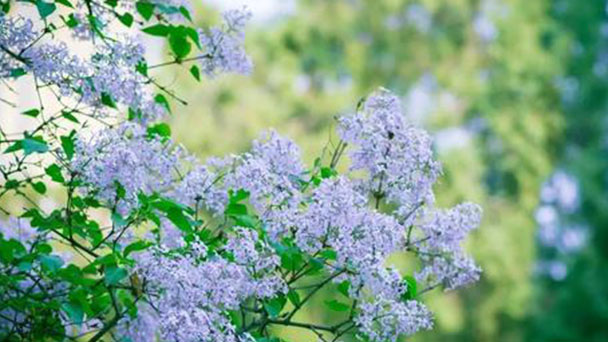 How to grow and care for Lilac