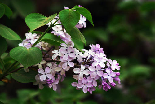 propagation methods of Lilac