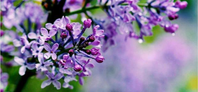 Lilac care