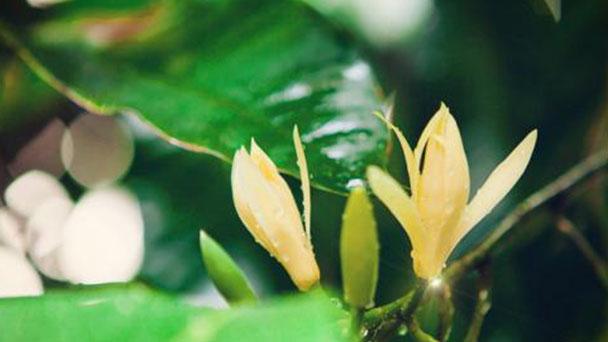 How to propagate Michelia