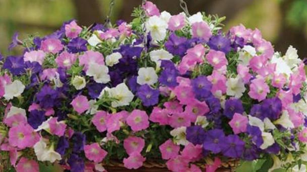 How to grow and care for Petunias
