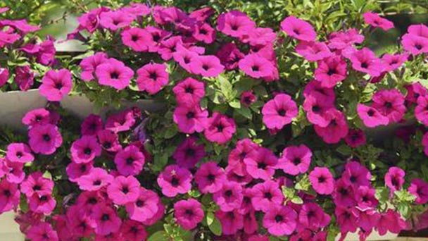 How to propagate Petunias