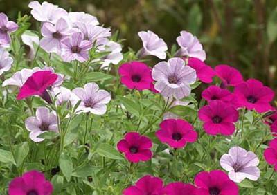 grow Petunias