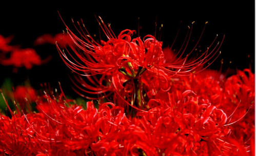 propagation methods of Red spider lily