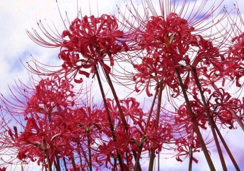 Red spider lily and Red spider lily care