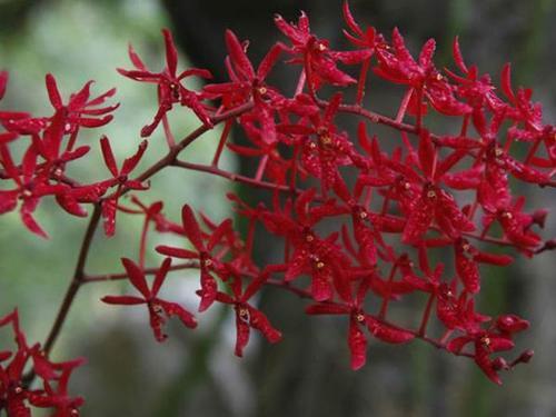 propagation methods of Scarlet Renanthera.