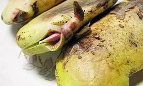 grow mango in the pot