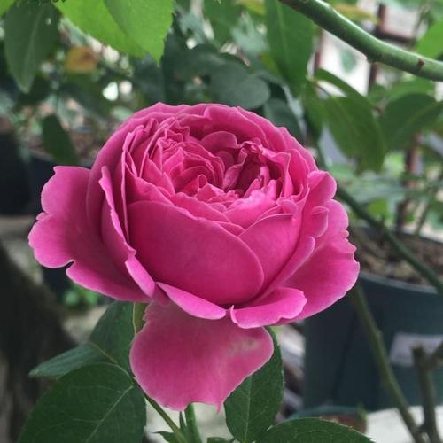 care for roses in the pots