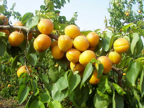 Armenian plum
