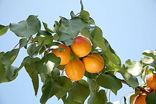 propagate Armenian plum