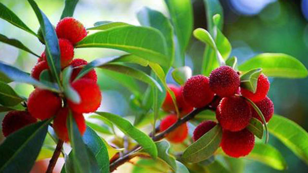 How to grow and care for Chinese bayberry