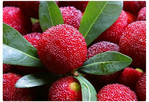 propagation methods of Chinese bayberry