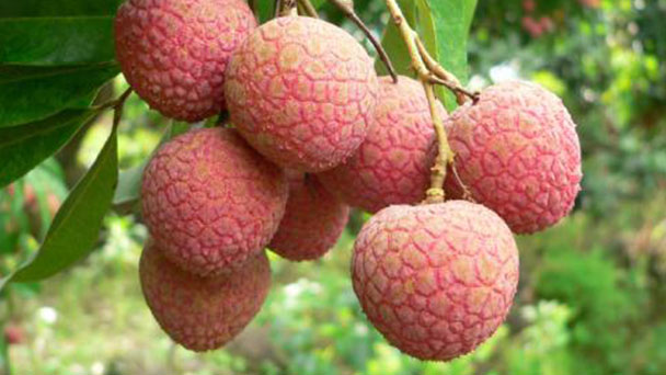 How to grow and care for lychee