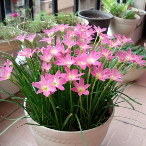 Pink rain lily care