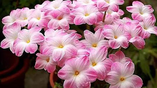How to grow and care for Pink rain lily