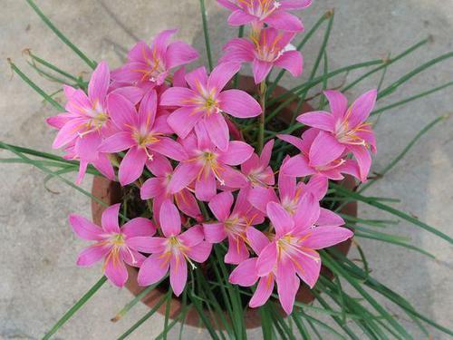 Pink Rain Lily propagate