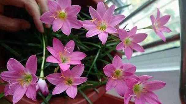 How to propagate Pink rain lily