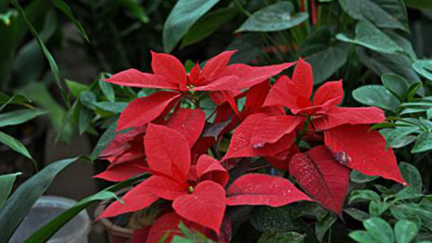 How to grow and care for Poinsettia