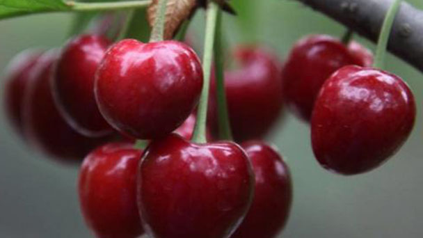 How to propagate cherry
