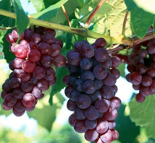 propagation method of grape