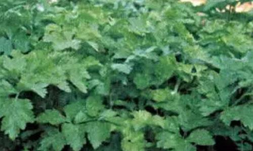 grow celery indoors