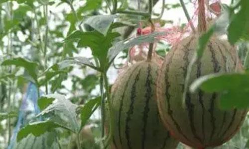 grow watermelon on the balcony