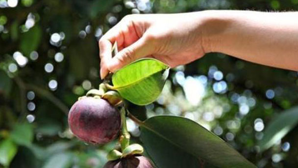 How to grow and care for mangosteen