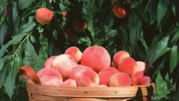 Peach profile