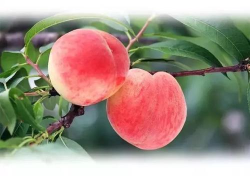 peach care
