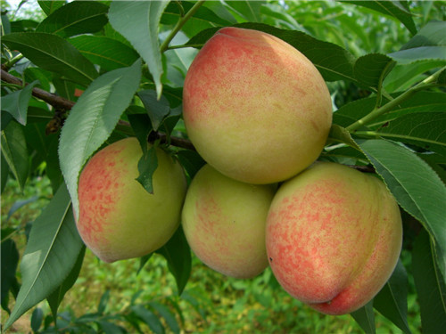 these propagation methods of peach