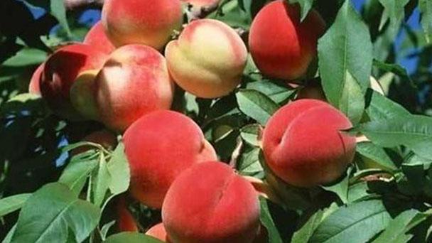 How to propagate peach