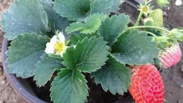 best way to plant strawberry plants