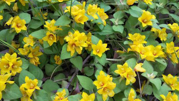 How to grow and care for creeping Jenny