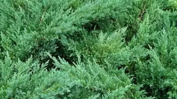 Juniperus procumbens profile