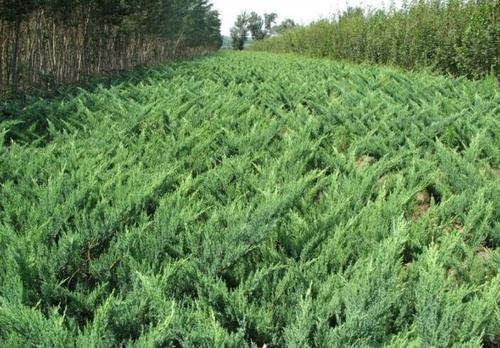propagation method of Juniperus procumbens