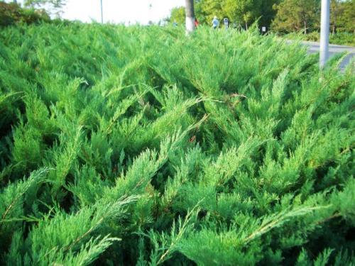 for Juniperus procumbens cutting propagation