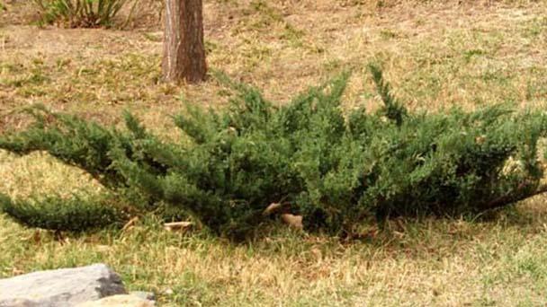 How to propagate Juniperus procumbens
